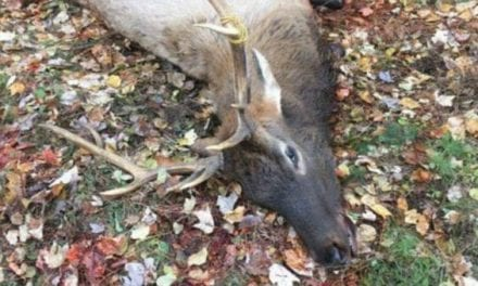 Wisconsin's Inaugural Elk Hunt Sees Permit Winner Cited for Illegally Killing Elk