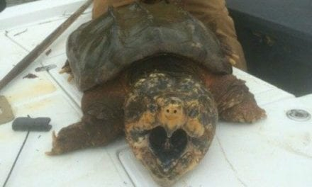 Alabama Man Catches Gigantic Alligator Snapping Turtle