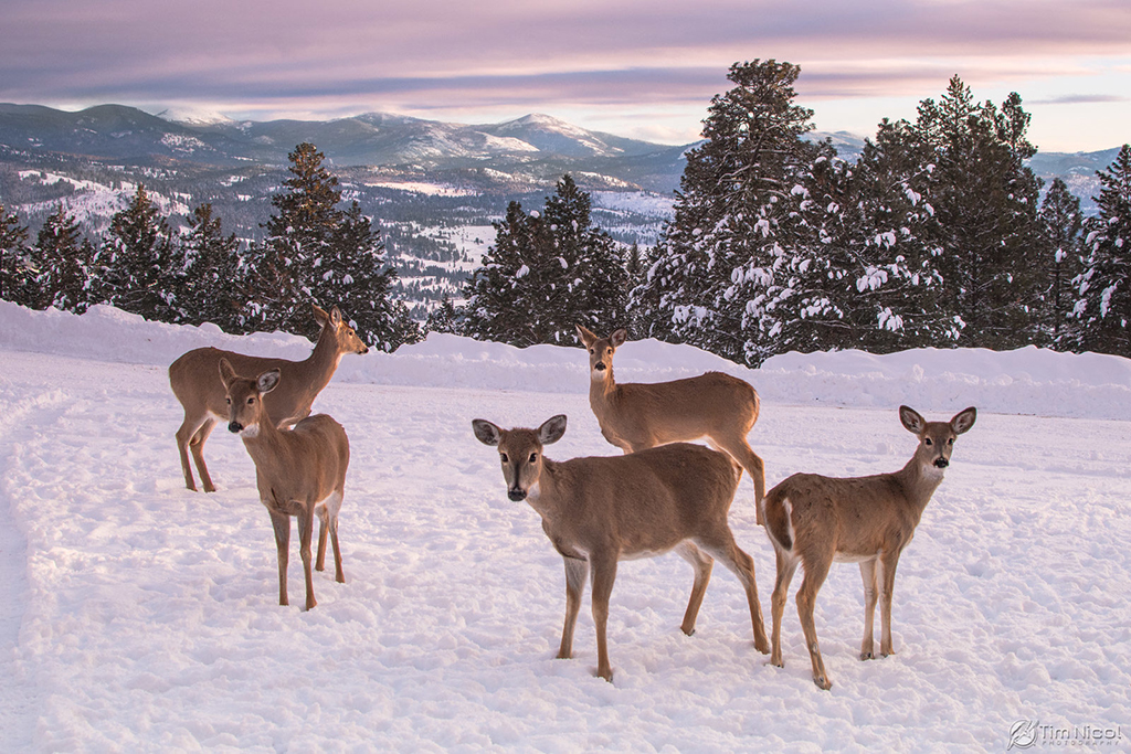 """Today's Photo Of The Day is """"Whitetail in the Mountains"""" by Tim Nicol. Location: Republic, Washington."""