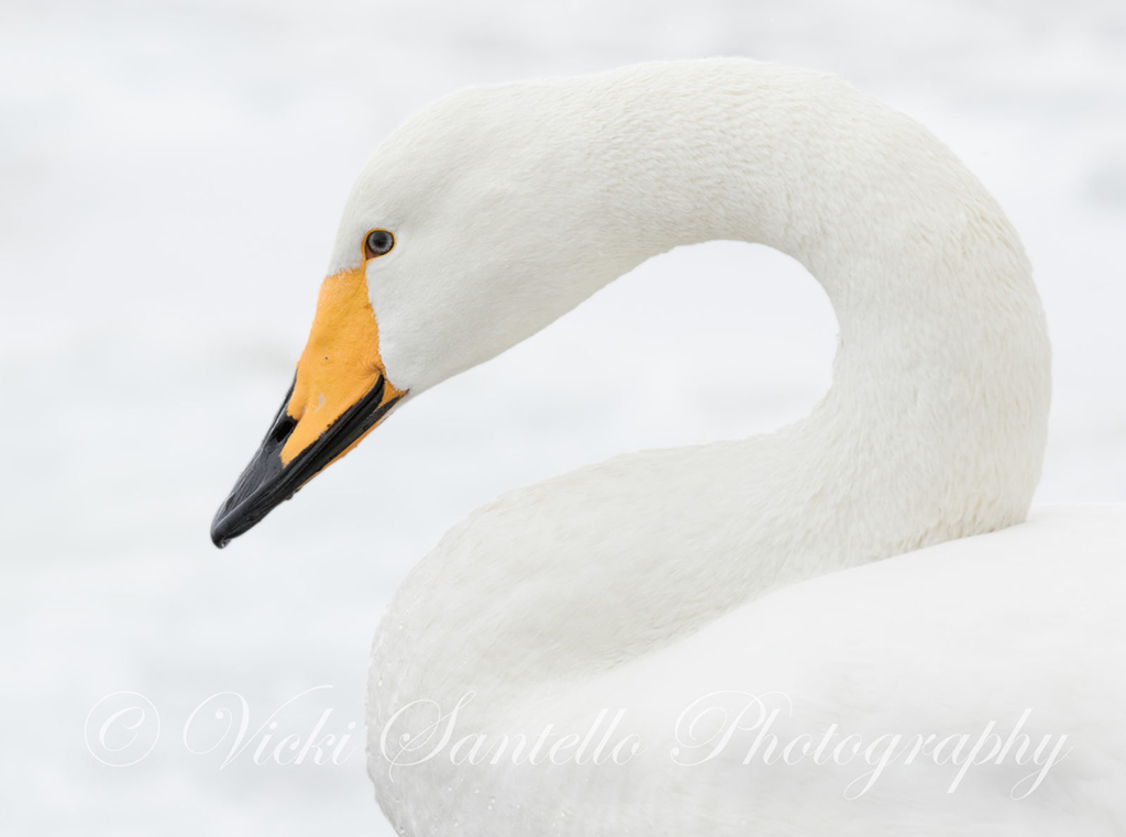 """Today's Photo Of The Day is """"Ode to Winter: Whooper Swan"""" by Vicki Santello. Location: Lake Kussharo, Hokkaido, Japan."""