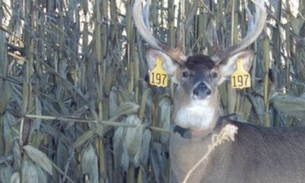 Mississippi State Study Sheds Light on Buck Movement