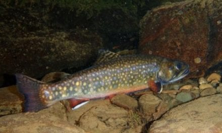 New model identifies Eastern U.S. stream sections holding wild brook trout
