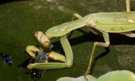 Praying Mantis Discovered Fishing, a First Seen in the Wild