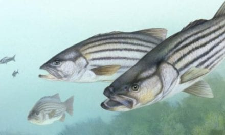 Shutdown stalling striped bass management decisions