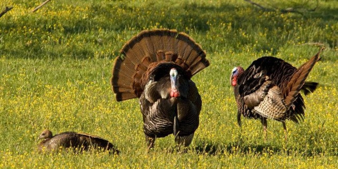 8 Sounds Turkeys Make and What They Mean
