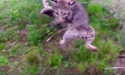 Bowhunter Shoots Bobcat Up Close, and the Tables Quickly Turn