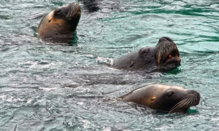 Commercial Seal Hunting Bill Proposed in British Columbia