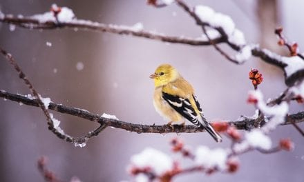 Last Frame: Goldfinch With Snow And Buds