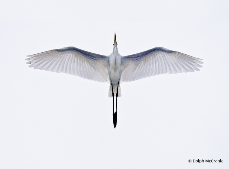 """Today's Photo Of The Day is """"Great Egret In Flight"""" by Dolph McCranie. Location: St Augustine, Florida."""