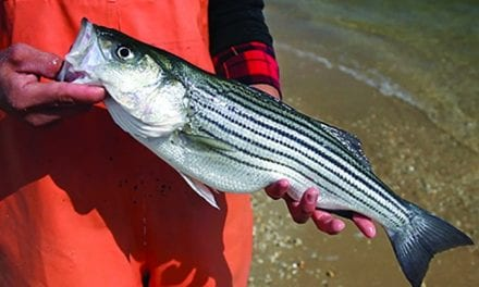 Search the Bay Journal site: Striped bass population in trouble, new study finds