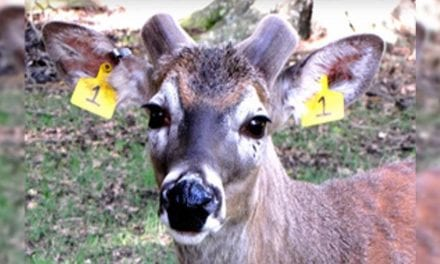 Watch These Two Bucks' Antler Growth From Start to Finish