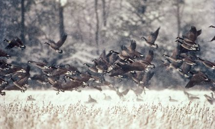 Chesapeake Bay bag limits for geese & mallards reduced