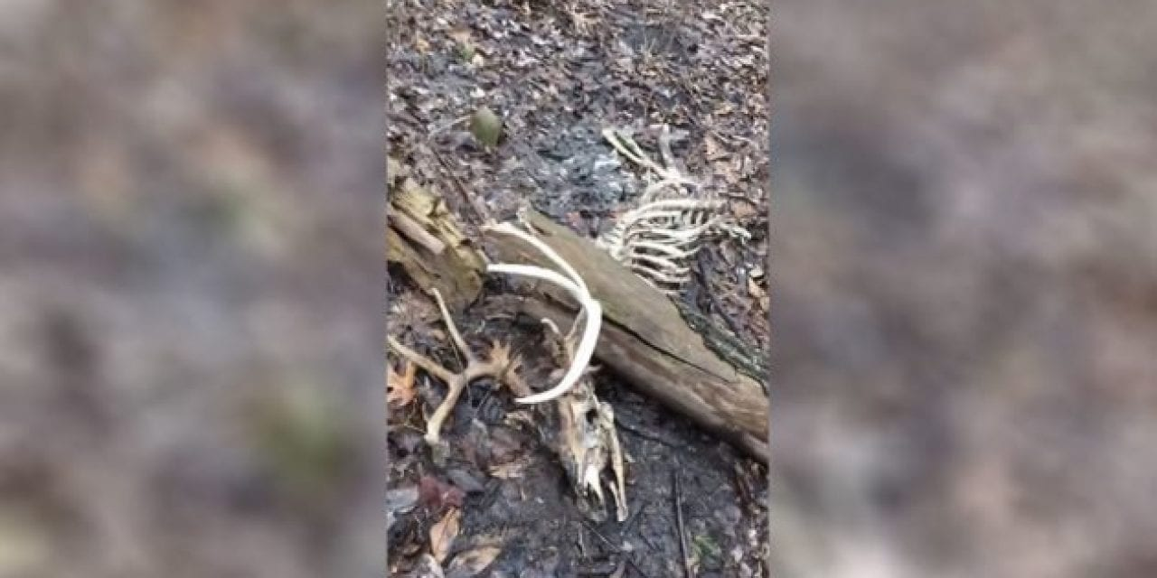 Hunter Finds Shooter Buck That Was Crushed by Fallen Tree