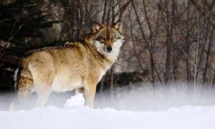 Sensible Wolf Management Could Be in Store for Minnesota