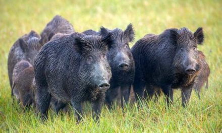 Texas is Losing the War on Feral Hogs