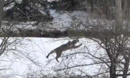Video: Assassin Bobcat Does the Unimaginable to Bag a Squirrel