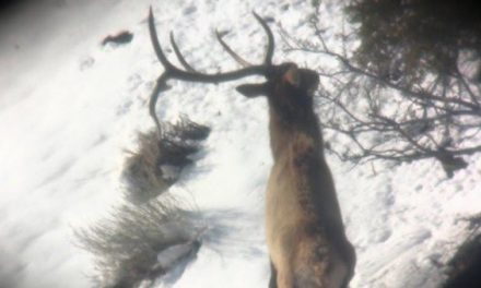 Watch This 5×5 Elk Shed Antlers Right in Front of a Lucky Hunter