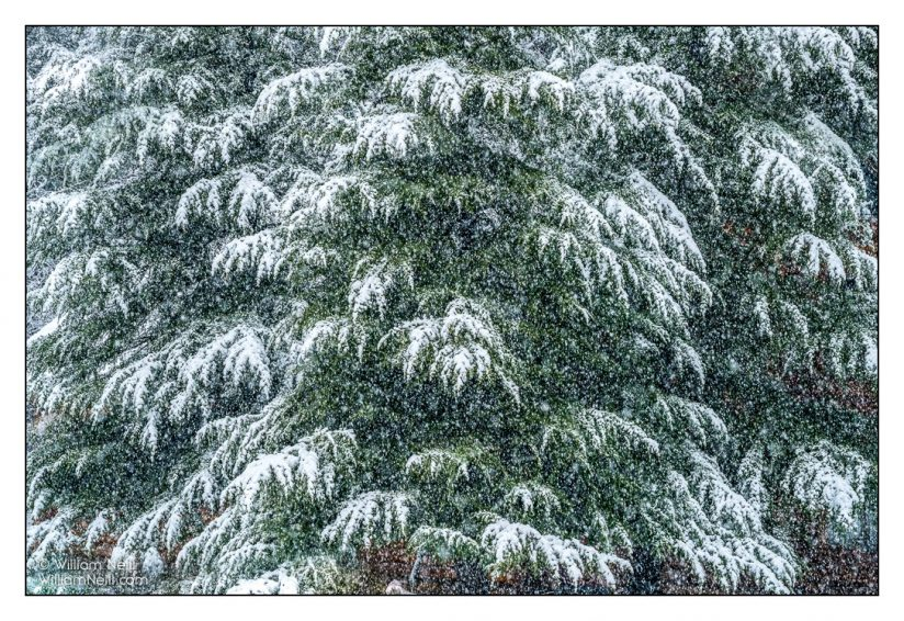 winter photos, cedar trees in snow