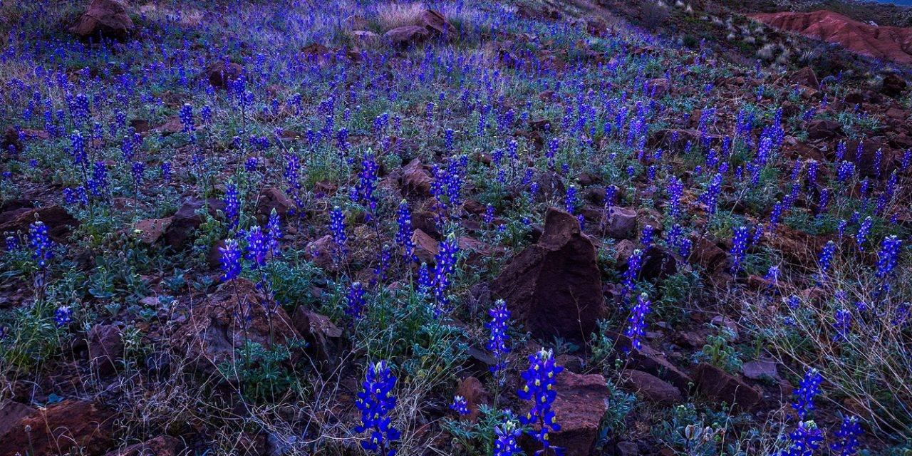 Big Bend Blue Hour Bluebonnets and Milky Way