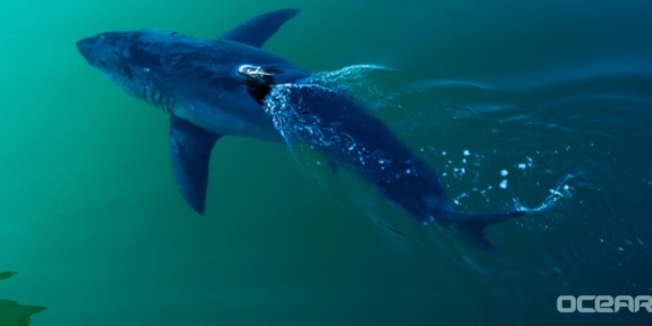 Fox News Reports – Great 1668 lbs White Shark Off The FL Panhandle