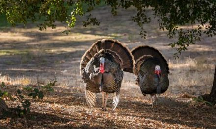Here Are the Best Turkey Hunting Broadheads for Your Archery Setup