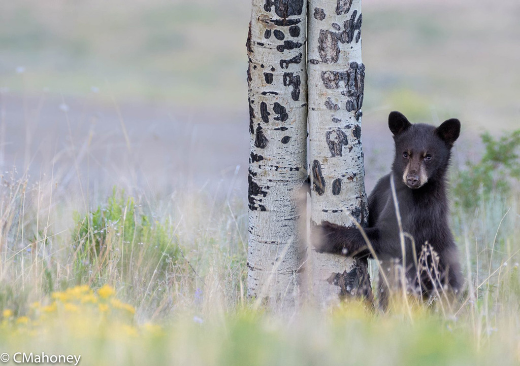 "Today's Photo Of The Day is ""Bear Cub"" by Conni Mahoney. Location: Crested Butte, Colorado."