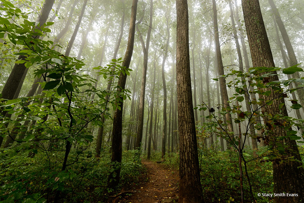 "Today's Photo Of The Day is ""In a Forest Fog"" by Stacy Smith Evans. Location: Shenandoah National Park, Virginia."