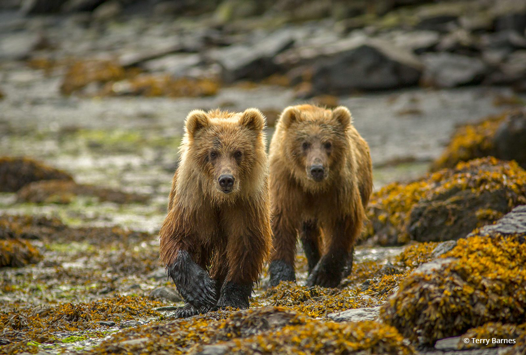 "Today's Photo Of The Day is ""Kodiak Curiosity"" by Terry Barnes. Location: Uyak Bay, Kodiak Island, Alaska."