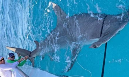 Video: Is This 14-Foot Hammerhead Shark the New World Record?