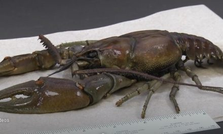 10 Inch Long Kentucky Crayfish