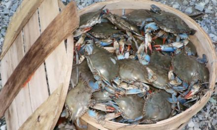 Chesapeake Bay Blue Crab Population Sees 60-Percent Increase