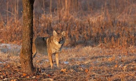 Coyote Hunting Calls You Ought to Keep in Memory