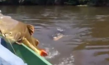Fisherman Races to Reel in Huge Redtail Catfish Before a Gator Snatches It Up