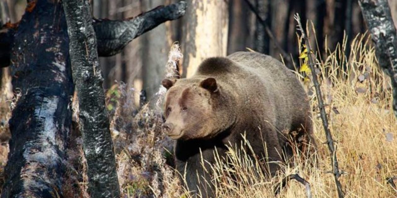 Grizzly Hunting Ban in the Lower 48 Proposed By Arizona Congressman