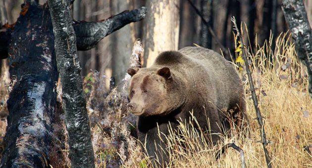 Grizzly Hunting Ban