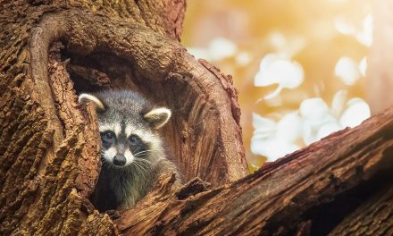 Last Frame: The Raccoon Visitor
