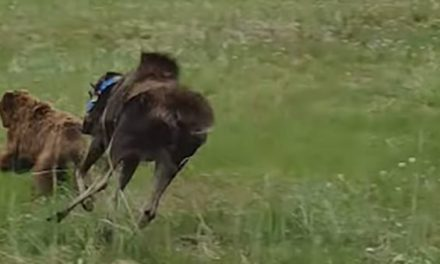 Collared Cow Moose Owns Brown Bear Chasing Her Calf