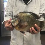 Man Catches New Colorado State Record Bluegill