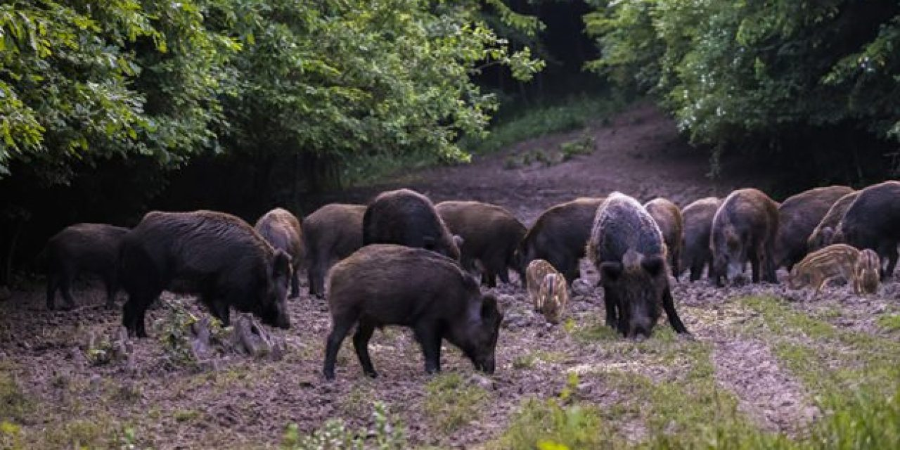 Now You Don't Even Need a License to Hunt Hogs in Texas