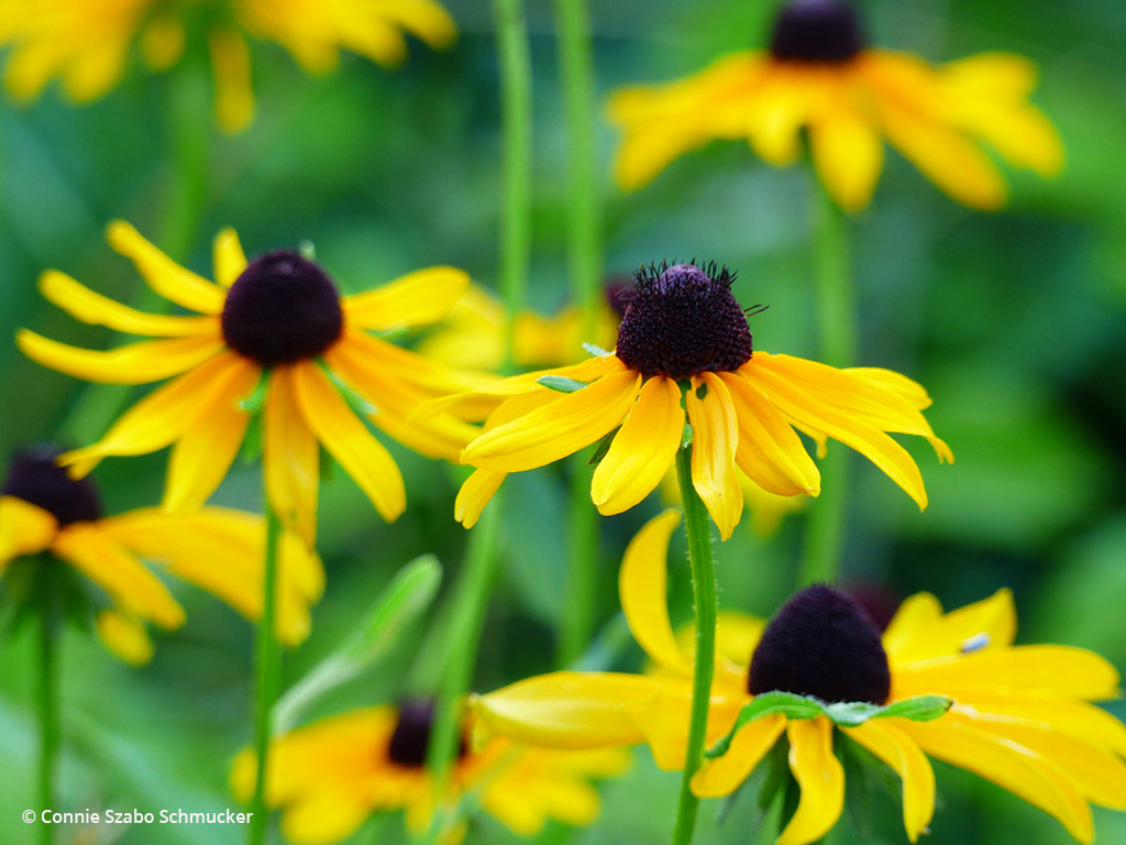 """Today's Photo Of The Day is """"Black-Eyed Susans"""" by Connie Szabo Schmucker. Location: Indianapolis, Indiana."""