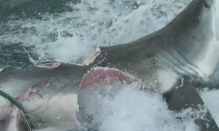 What Could Possibly Do This to a Great White Shark? Another Great White, Of Course