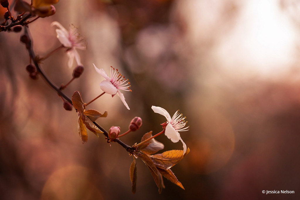 "Congratulations to Jessica Nelson for winning the recent Beautiful Bokeh Photography Assignment with the image, ""Plum Blossoms."""