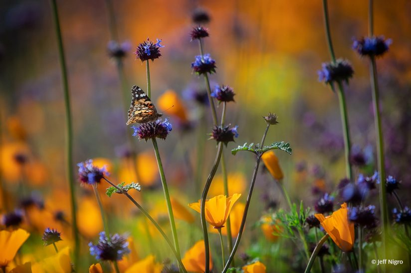 """Today's Photo Of The Day is """"Among the Flowers"""" by Jeff Nigro. Location: Lake Elsinore, California."""