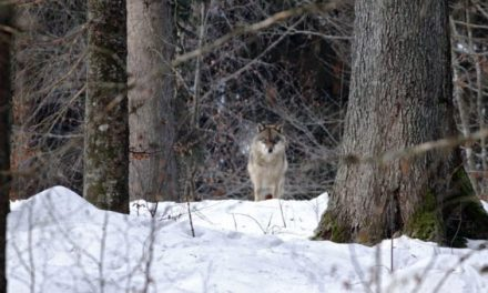 Camper Saves Family From Wolf Attack in Canada