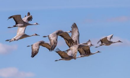 For the First Time in a Century, Alabama Will See a Sandhill Crane Hunting Season