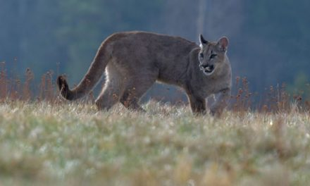 Mountain Lion Hunting: Where, When, and How to Hunt North America's Big Cats