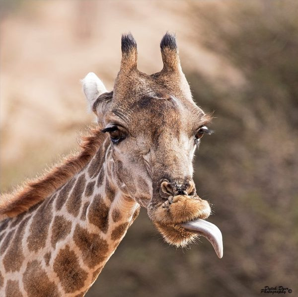 """Today's Photo Of The Day is """"Giraffe-Attude"""" by Michael Dyer. Location: Pilanesberg National Park and Game Reserve, South Africa."""