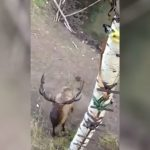 Bull Elk Challenges Hunter to Come Down and Square Up