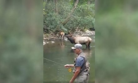 Fly Fisherman Gets Front-Row Seat to Elk Bugle