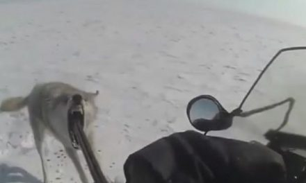 Wolf Turns on Snowmobiler After Being Shot